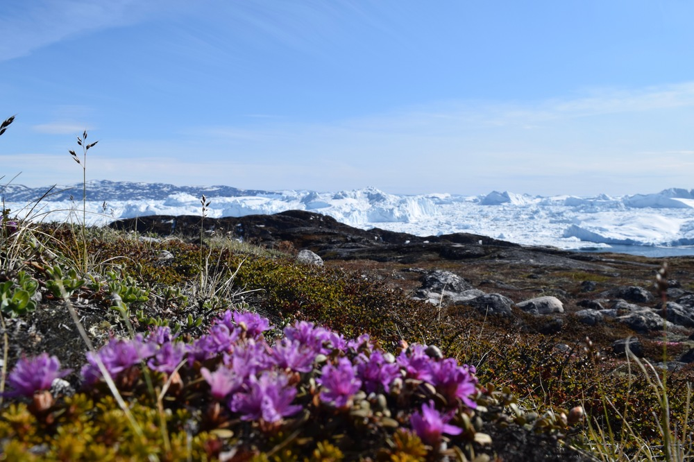 The flowers just beginning to bloom on Ilulissat's yellow hiking trail.